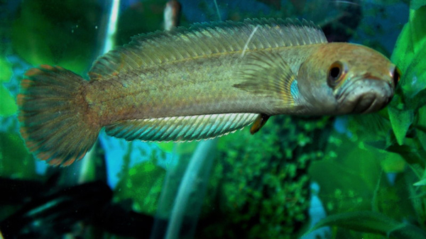 این ماهیها روی خشکی هم زنده میمانند! (+عکس)