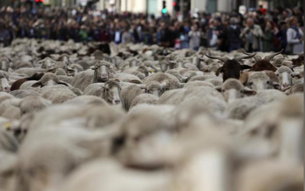 عبور گوسفندان از قلب مادرید (+عکس)