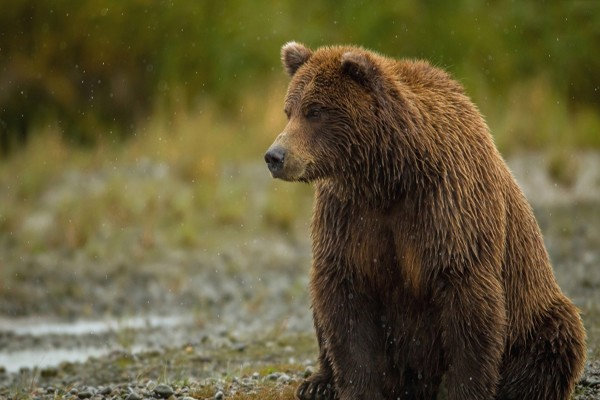 مشاهده 3 قلاده خرس درحوالی مناطق بهمئی/ مردم به خرسها آسیب نزنند