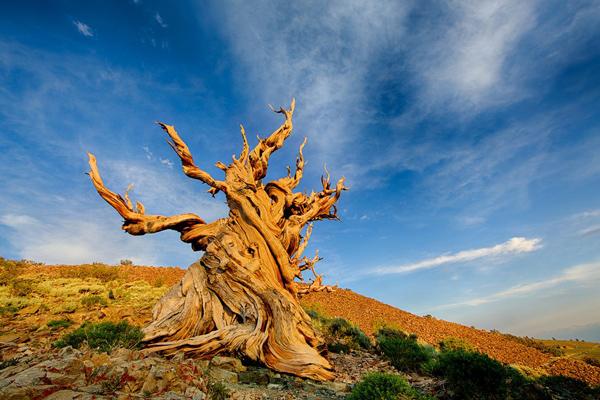 پیرترین درخت های جهان را کجا میتوان دید؟
