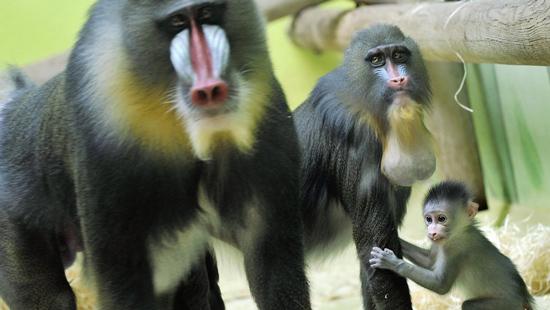 بزرگترین گونه میمون در دنیا (+عکس)