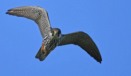 سریعترین پرندههای دنیا (+عکس)