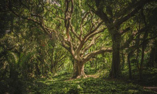 قدیمیترین درخت جهان (عکس)