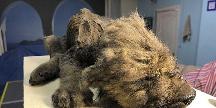 کشف جسد 18 هزار ساله یک سگ (+عکس)