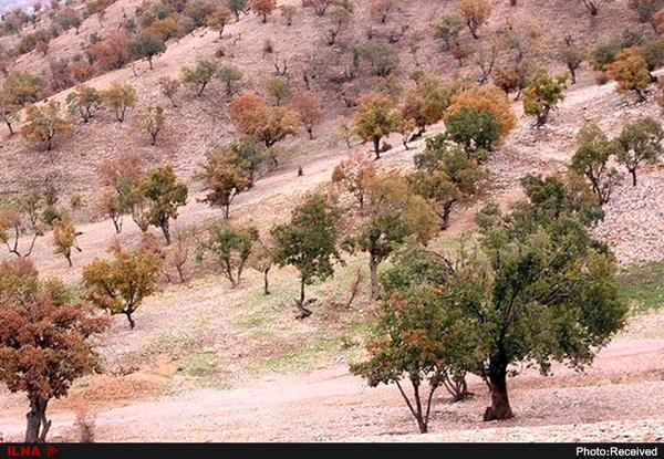 هشدار جدی درباره نابودی جنگلهای زاگرس/ 170 هزار هکتار درگیر بیماری های خطرناک