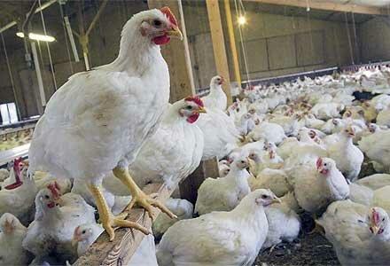 مرغهای بومی استان فارس 3 برابر 40 سال قبل تخم میگذارند