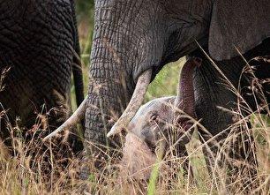تولد یک فیل صورتی در کنیا (+عکس)