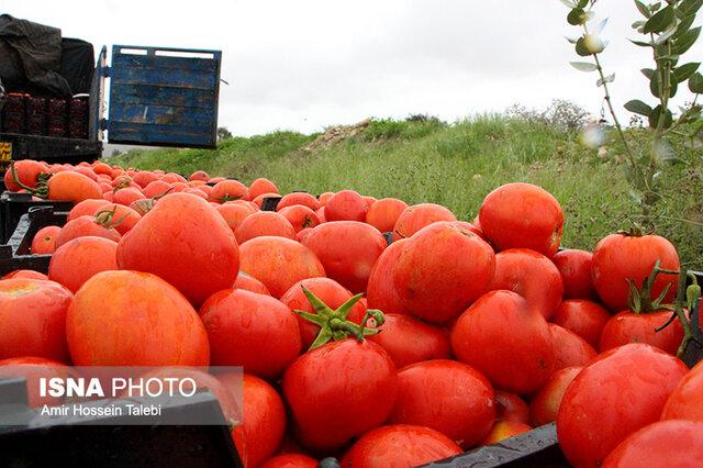 رئیس اتحادیه میوه و ترهبار: گوجهفرنگی تا ۱۰ روز دیگر ارزان میشود