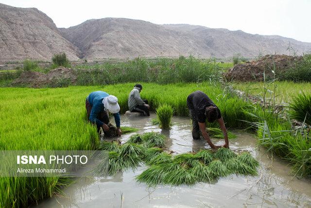 تولید برنج امسال رکورد زد