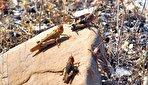 حمله دوباره ملخها به ایران (فیلم)