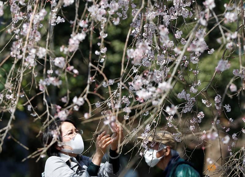 کرونا در جشن شکوفه های گیلاس ژاپن