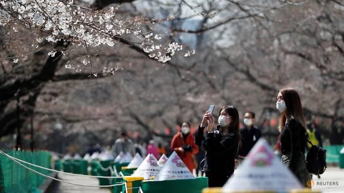 کرونا جشن شکوفه های گیلاس