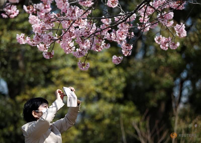 کرونا در جشن شکوفههای گیلاس