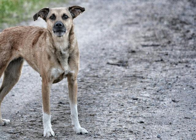 سگهای ولگرد مظنون های جدید انتقال اولین کروناویروس به انسان