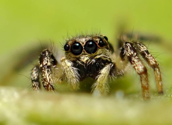 عنکبوت هایی که 8 چشم دارند
