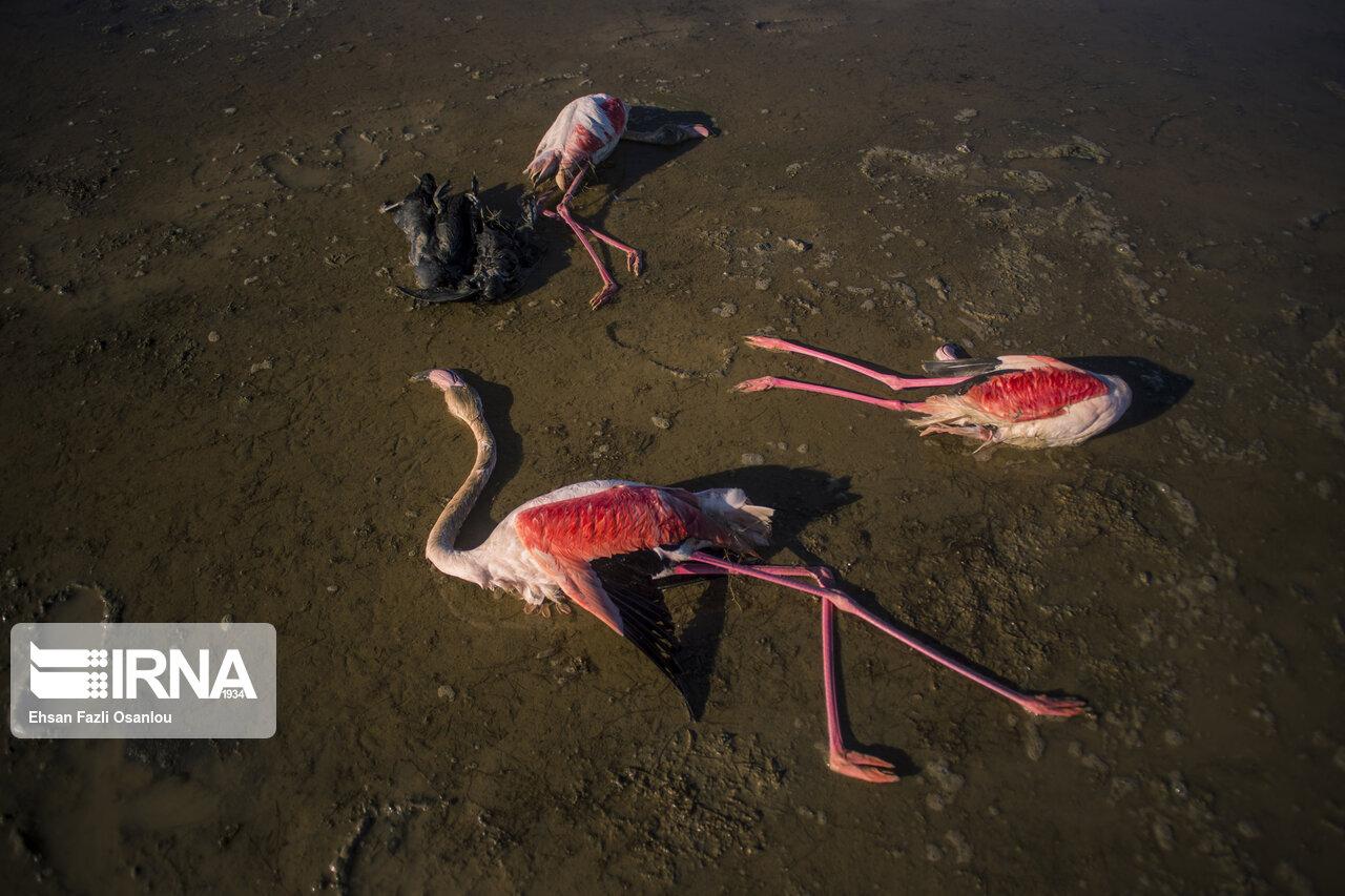 مرگ پرندگان میانکاله