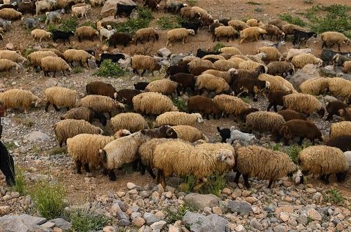 کوچ پیاده عشایر ممنوع شد