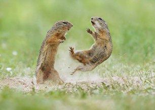 ژست های جالب سنجابهای بیابانی (عکس)
