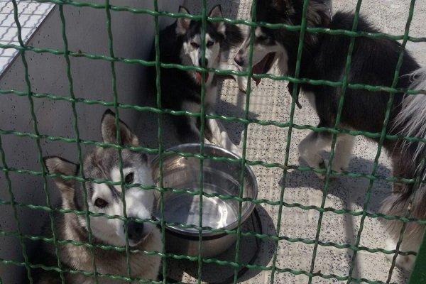 ساماندهی استاندارد سگهای ولگرد بدون کشتار