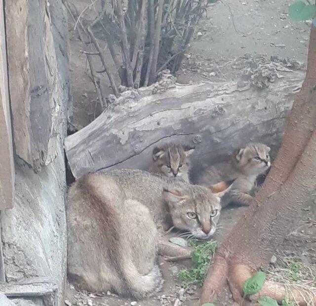 گربه های وحشی