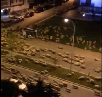 هجوم شبانه گوسفندان به شهری در ترکیه!