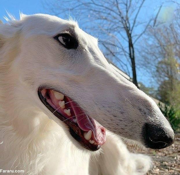 سگ از نژاد برزوی