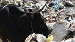 گاوهایی که زبالههای رهاسازی شده در ۵۰۰ متری دریای خزر را میخورند/ احتمال ورود شیرابهها به دریا (فیلم)