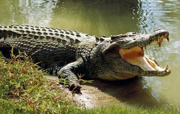 سیستان و بلوچستان/ حدود۴۰۰ تمساح در رودخانه باهوصلات، نبود آب شرب و خطر قطع دست کودکان