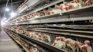 قیمت مرغ وارد کانال 19 هزار تومان شد