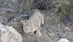 چشم در چشم با پلنگ مازندران/ روایت محیط بان سوادکوه از شکار تصویر پلنگ و فرزندانش (فیلم)
