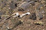 طاعون به حیات وحش ایران زد؛ خطر افزایش تلفات وجود دارد/ احتمال گسترش بیماری در میان حیوانات بیشتر (فیلم)