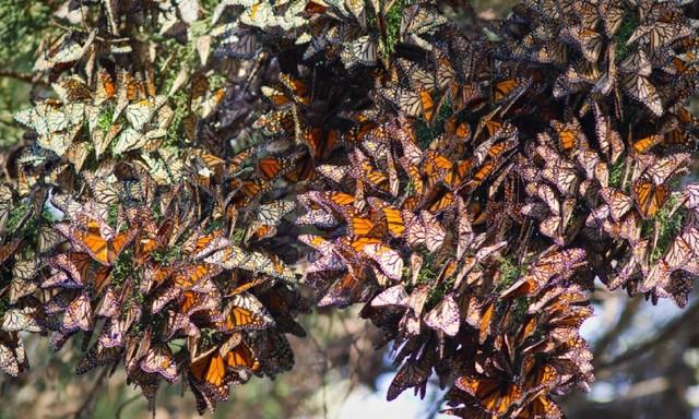 مهاجرت پروانههای شهریار در مکزیک