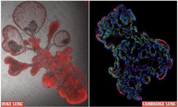کشت ریههای مصنوعی کوچک برای بررسی کروناویروس