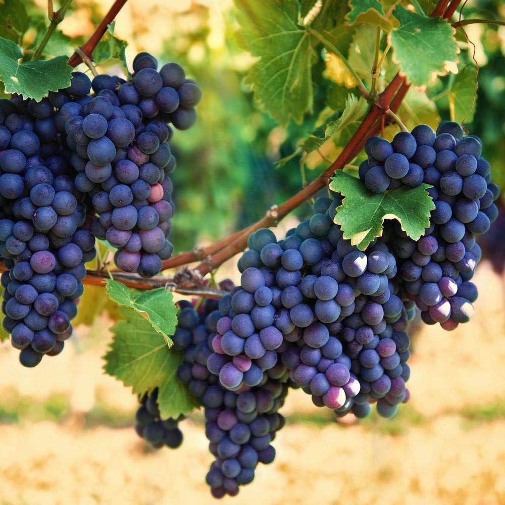 خرید نهال انگور از بهترین نهالستان کشور