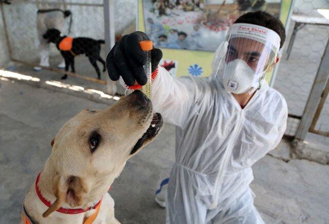 سگها بوی کروناویروس را حس میکنند/ علم چه میگوید؟