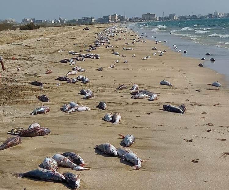 تلف شدن گربه ماهی ها در ساحل جاسک (+عکس)