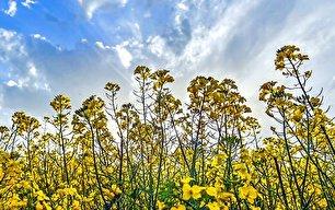 مزارع کلزا مازندران (عکس)