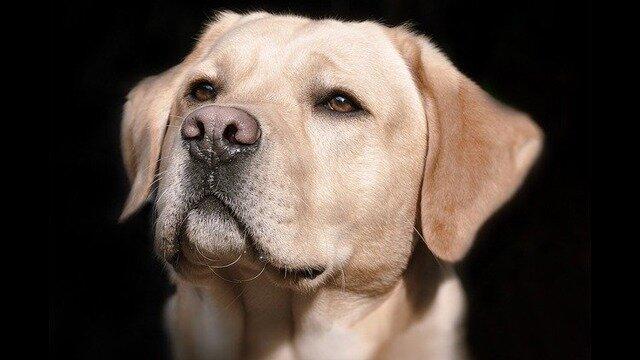 شناسایی نمونه مثبت کرونا توسط سگها با دقت ۹۶ درصد