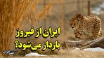 ایران اجازه جفتگیری به فیروز میدهد؟/ هشدار مخالفان تکثیر در اسارت یوز (فیلم)