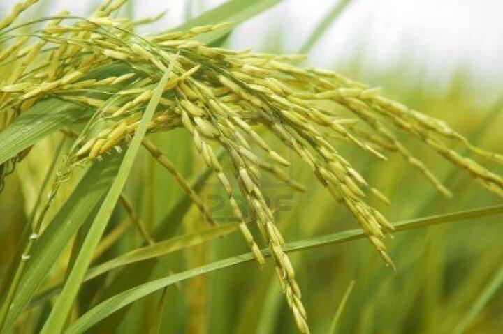 دادستان کرمانشاه: با کشت برنج در استان برخورد میشود