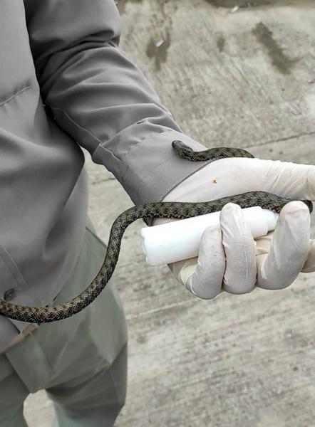 محیط زیست بندرانزلی: مارهای مشاهده شده سمی نیستند