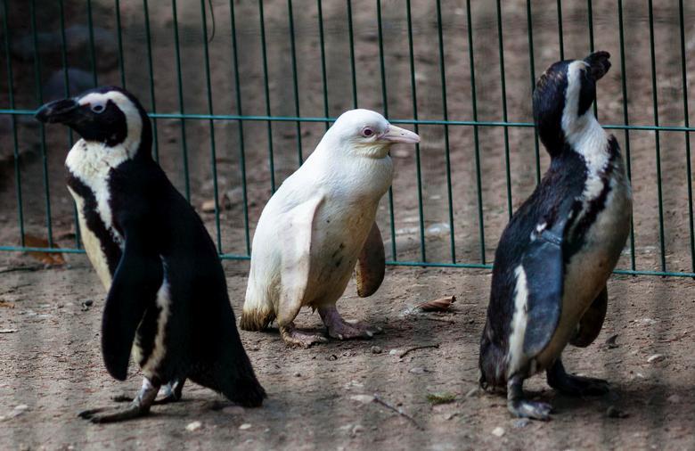 پنگوئن زال