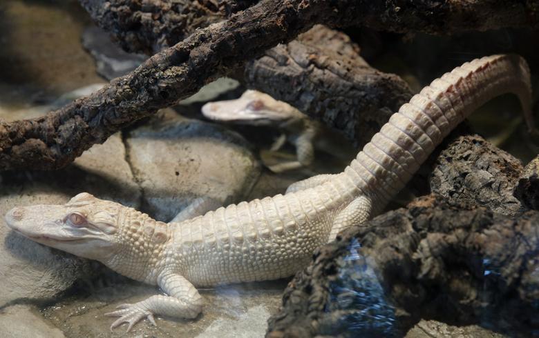 تمساح آلبینو زال