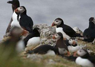 زیستگاه طوطیهای دریایی (عکس)