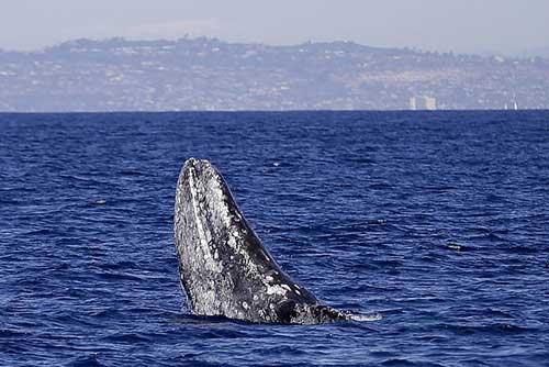 نهنگ ولگرد