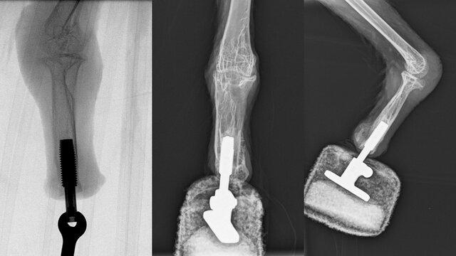 کرکسی که نخستین پای مصنوعی دائمی را دریافت کرد