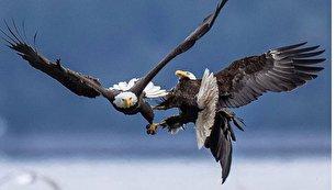 پنجه در پنجه شدن عقابهای سرسفید در آسمان (+عکس)