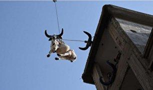 پرورش گاوها روی پشت بام! (عکس)