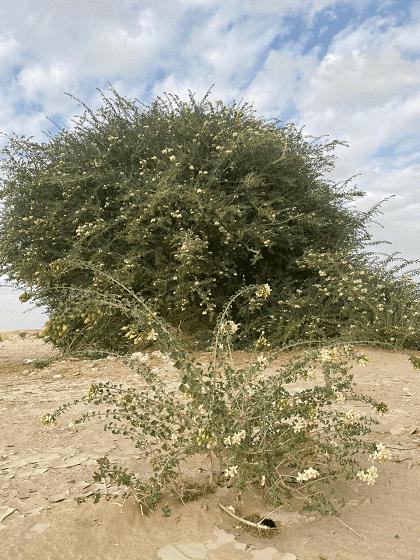 کشف درختی بی نظیر در عمان (عکس)