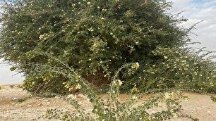 کشف درختی بی نظیر در عمان (+عکس)
